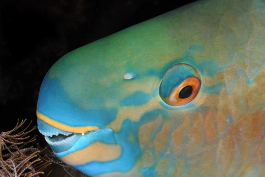 Indian Parrotfish (night phase) - Cenderawasih Bay - West-Papua - Indonesia 2011