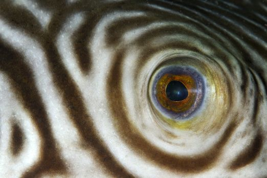 Narrow-lined pufferfish (Arothron manilensis) - Triton Bay - West-Papua - Indonesia 2015