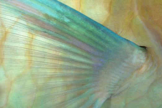 Indian Parrotfish pectoral fin - Cenderawasih Bay - West-Papua - Indonesia 2011