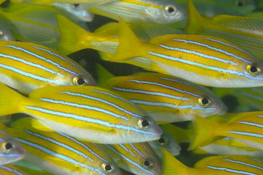 Bluestriped Snapper (Lutjanus kasmira) - Triton Bay - West-Papua - Indonesia 2015