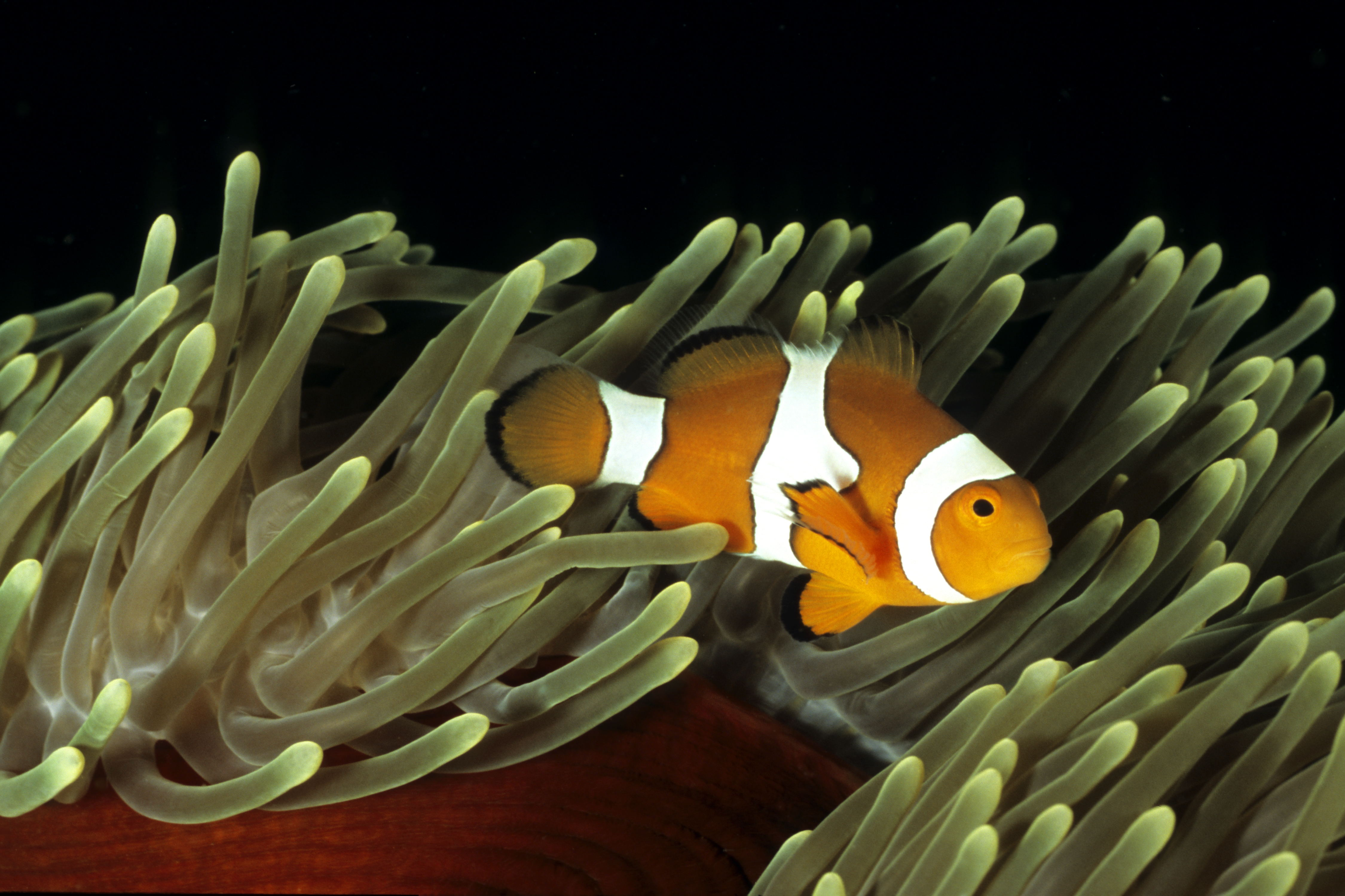 Clownfish - Tawali - Dinahs Beach - Milne Bay - PNG 2006