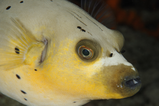 Blackspotted puffer - Cenderawasih Bay - West-Papua - Indonesia 2011