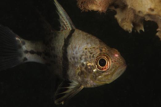 Orbicular cardinalfish - Cenderawasih Bay - West-Papua - Indonesia 2011