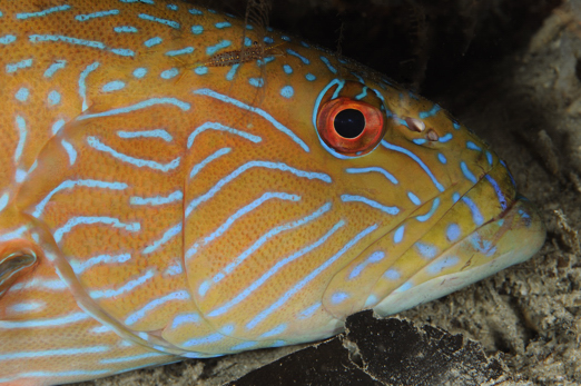 Bluelined Rock Grouper - Cenderawasih Bay - West-Papua - Indonesia 2011