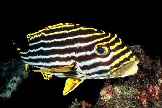 Oriental Sweetlip - Tawali - Deacons reef - Milne Bay - PNG 2006
