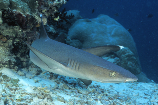 Whitetip Reef Shark - Tufi - Oro Province - PNG 2009