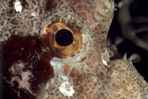 Detail of a Scorpionfish - Raja Ampat Archipelago - West Papua - Indonesia 2008