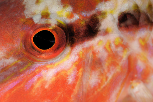Detail of Freckled Goatfish - Prince John Dive Resort - Dongala/Sulawesi - Indonesia 2010