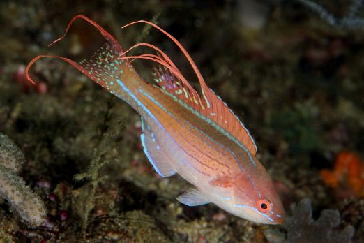 Flasher Wrasse (Paracheilinus sp.) - Triton Bay - West-Papua - Indonesia 2015