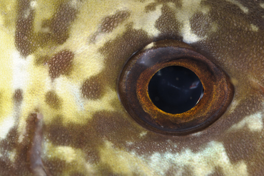 Stareye Parrotfish IP (Calotomus carolinus) - PJDR - Dongala/Sulawesi - Indonesia 2010