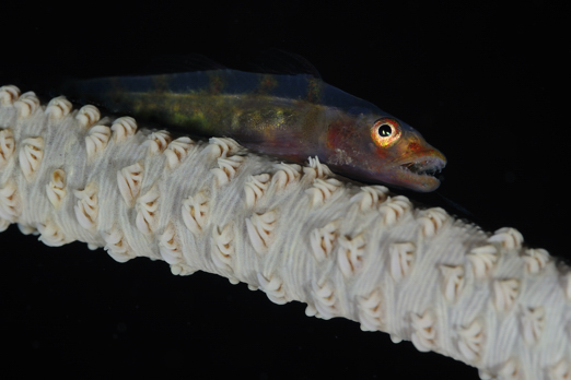 Wire Coral Goby on a Whipe Coral - Cenderawasih Bay - West-Papua - Indonesia 2011