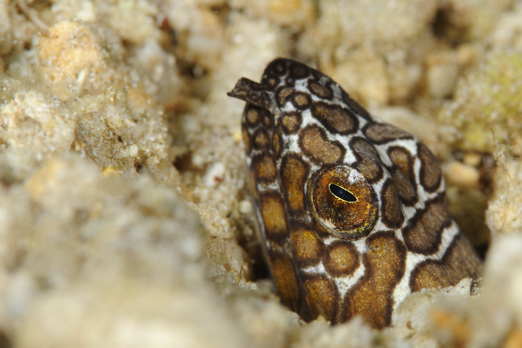 Napoleon snake eel - Harlem Islands - Cenderawasih Bay - West-Papua - Indonesia 2011