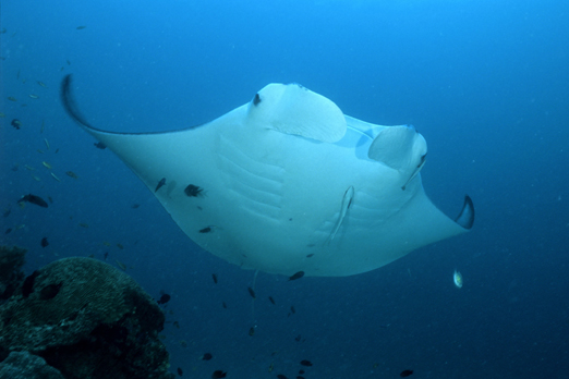 Manta Ray - Raja Ampat Archipelago - West Papua - Indonesia 2008