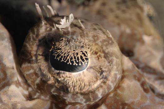 Crocodile Flathead eye - Prince John Dive Resort - Dongala/Sulawesi - Indonesia 2010