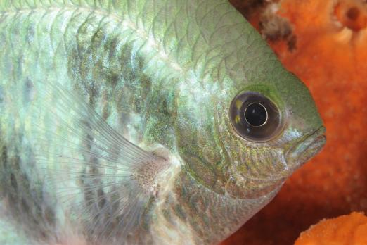 Amblyglyphidodon curacao (night phase) - PJDR - Dongala/Sulawesi - Indonesia 2010