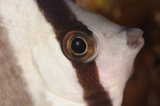 Blacklip Butterflyfish (Chaetodon kleinii) - PJDR - Dongala/Sulawesi - Indonesia 2010