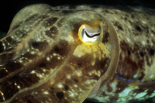Portrait of a Cuttlefish - Tufi - Oro Province - PNG 2009