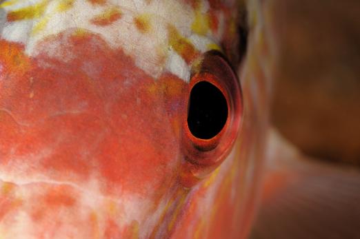 Detail of Freckled Goatfish - Prince John Dive Resort - Dongala/Sulawesi - Indonesia 2010