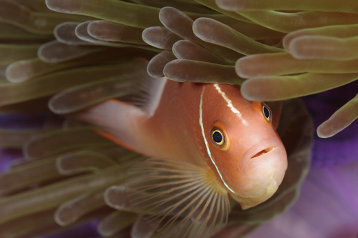 Pink Anemonefish - Harlem Islands - Cenderawasih Bay - West-Papua - Indonesia 2011