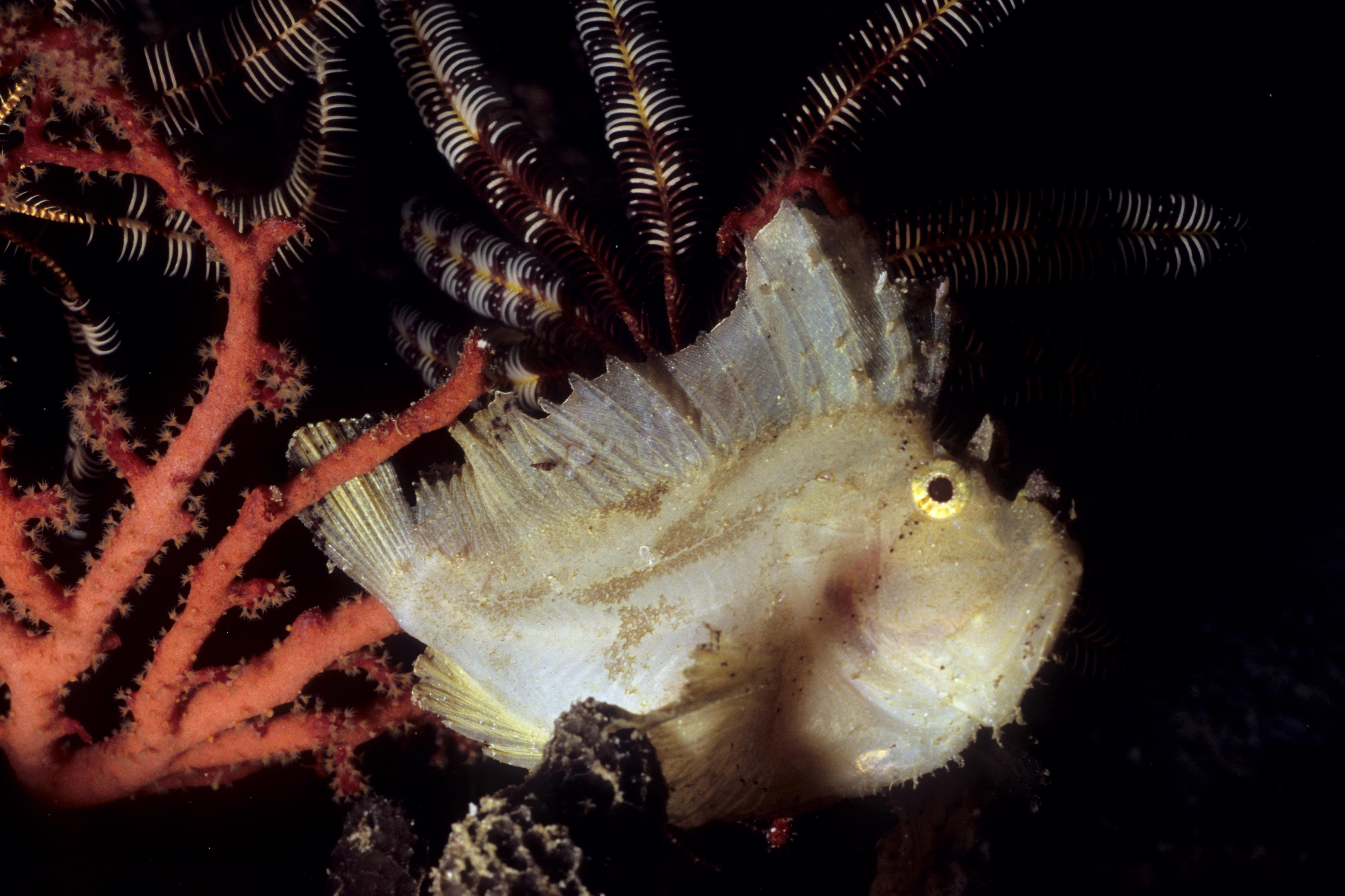 Leaffish - Raja Ampat Archipelago - West Papua - Indonesia 2008