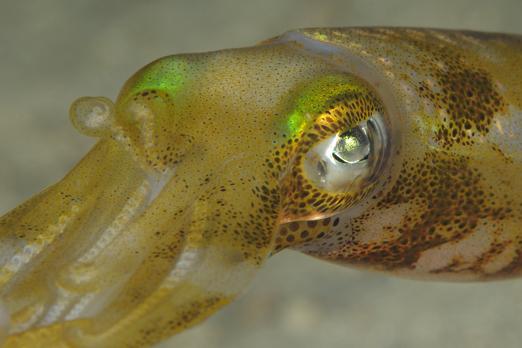 Common Reef Cuttlefish - Prince John Dive Resort - Dongala/Sulawesi - Indonesia 2010