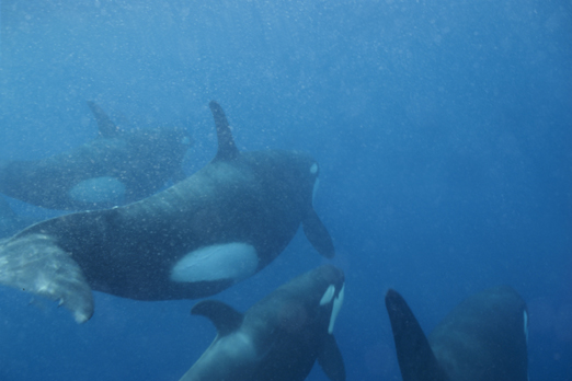 Orcas in open water - Walindi - Kimbe Bay - New Britain - PNG 2006