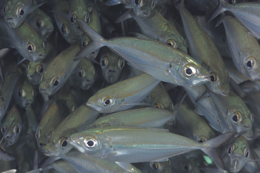 Mackerel scad - Harlem Islands - Cenderawasih Bay - West-Papua - Indonesia 2011