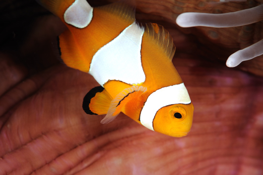 Clown Anemonefish - Harlem Islands - Cenderawasih Bay - West-Papua - Indonesia 2011