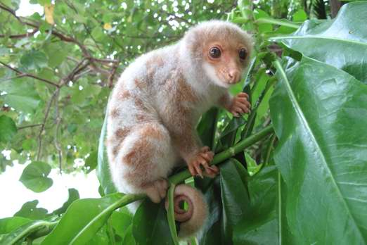 Common Spotted Cuscus - Ahe Island - Cenderawasih Bay - West-Papua - Indonesia 2011