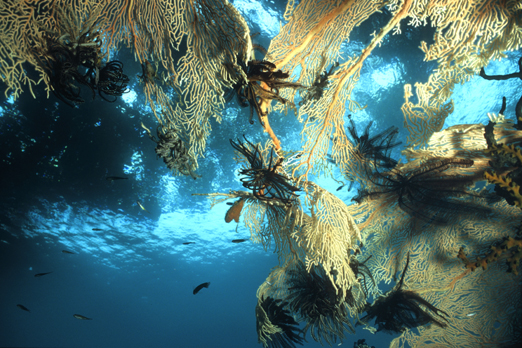 Huge Sea Fan - Tufi - Deacons reef - Milne Bay - PNG 2006