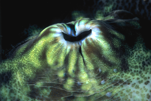 Siphon of a Giant Clam - Tufi - Oro Province - PNG 2009
