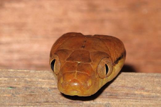 Snake (name unassigned) - Prince John Dive Resort - Dongala/Sulawesi - Indonesia 2010