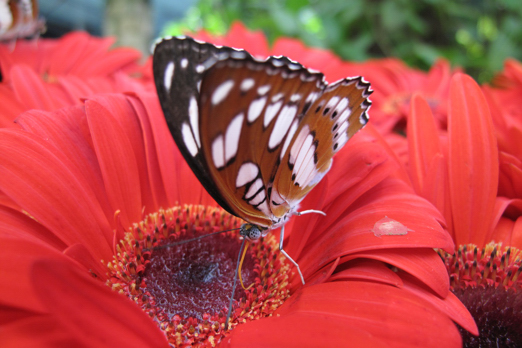 Butterfly (name unassigned) -  Butterfly Garden - Changi Airport  - Singapore 2010