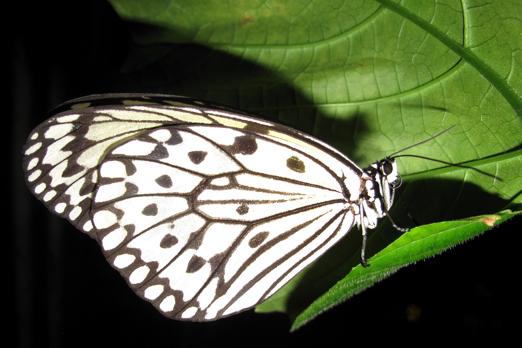 Large Tree Nymph (Idea leuconoe) -  Butterfly Garden - Changi Airport  - Singapore 2010
