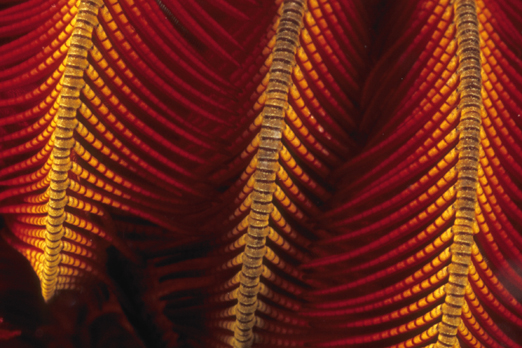 Detail of a Bushy feather star - Tufi - Oro Province - PNG 2009