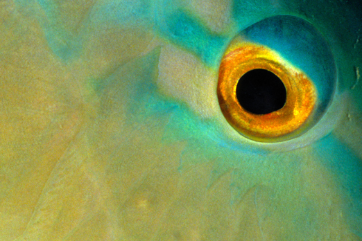 Parrotfish eye - near Lissenung Island - New Ireland Province - PNG 2007