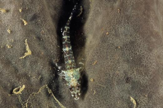 Ucla xenogrammus above a plate coral - Walindi - Kimbe Bay - New Britain - PNG 2009