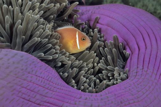 Pink Anemonefish - Walindi - Kimbe Bay - New Britain - PNG 2009