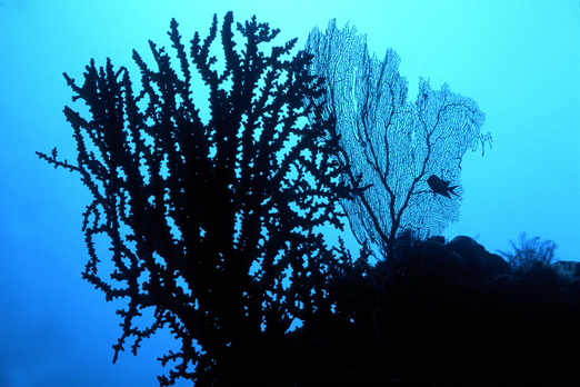 Sea Fan silhouette - near Lissenung Island - New Ireland Province - PNG 2007