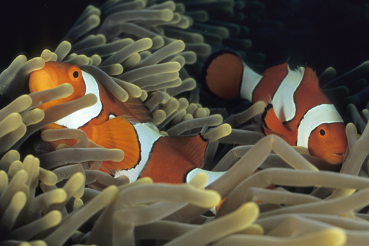 Clownfish (Amphiprion percula) - Tufi - Oro Province - PNG 2009