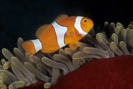 Clownfish (Amphiprion percula) - Walindi - Kimbe Bay - New Britain - PNG 2009