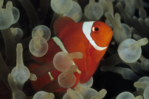 Maroon Clownfish - Tufi - Oro Province - PNG 2009