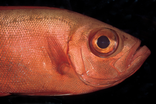 Big Eye Fish - near Lissenung Island - New Ireland Province - PNG 2007