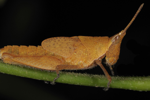 Locust (name unassigned) - Walindi - Kimbe Bay - New Britain - PNG 2009