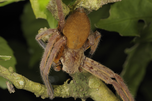 Spider (name unassigned) - Walindi - Kimbe Bay - New Britain - PNG 2009