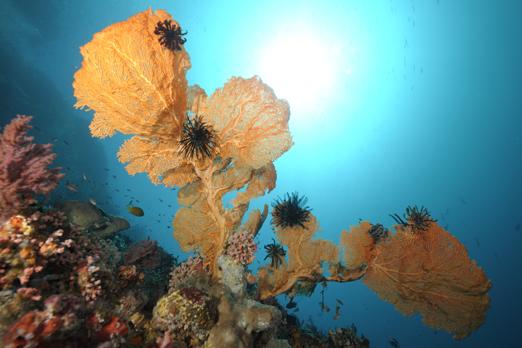 Annella mollis - Pantar - Alor-Archipelago - Indonesia 2010