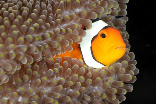 Clown Anemonefish - Alam Batu Beach Resort - Bali - Indonesia 2010