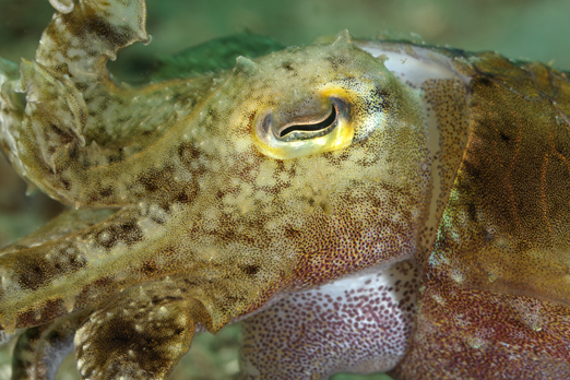 Common Reef Cuttlefish - Pantar - Alor-Archipelago - Indonesia 2010