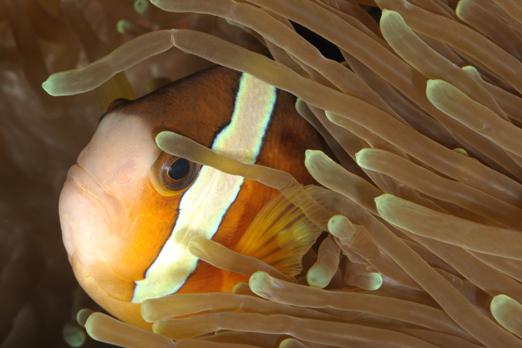 Clark`s Anemonefish - Pantar - Alor-Archipelago - Indonesia 2010