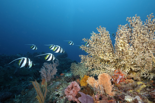 Schooling Bannerfish - Pantar - Alor-Archipelago - Indonesia 2010